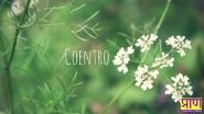 Coentro