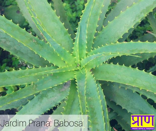 Jardim Prana- Babosa