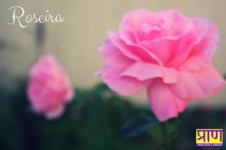 Roseira (1)